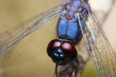 Free Dragonfly Royalty Free Stock Images - 5978269