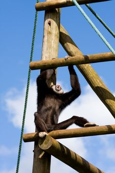 Free Spider Monkey Stock Photography - 5978672