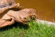Free Giant Tortoise Royalty Free Stock Photos - 5978688