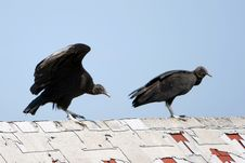 Free Turkey Vultures Royalty Free Stock Photography - 5979117