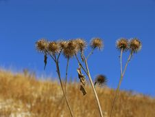 Dry Thistles Royalty Free Stock Images