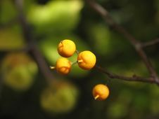 Free Yellow Wild Berries Royalty Free Stock Photography - 5979187