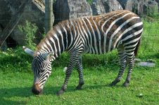 Zebra Grazing Stock Images