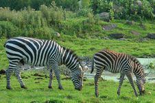 Free Zebras Stock Image - 5979981