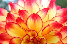 Free Dahlia Red And Yellow Close Up Dahlias Flower Stock Image - 59731611
