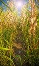 Free Corn Field Stock Photo - 5982720