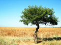 Free Lonely Tree On A Field Royalty Free Stock Photos - 5984718