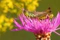 Free Grasshopper Stock Photography - 5988472