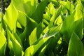 Free Beautiful Green Leaves And Sunlight Royalty Free Stock Image - 5988986