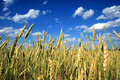 Free Wheat Stock Photos - 5989493