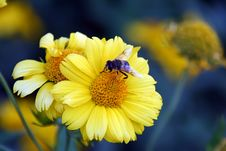 Bee On The Yellow Flower Royalty Free Stock Photos