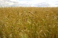 Free Yellow Field Of Rye Stock Photo - 5980490