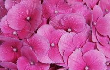 Free Pink Flower Background Royalty Free Stock Photography - 5981657