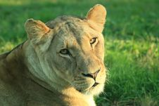 Free African Lioness Stock Photos - 5981663