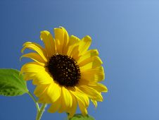 Free Sunflower Stock Photo - 5982010