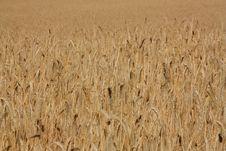 Free Wheat Stock Photos - 5982643