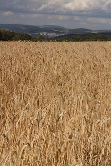 Free Wheat Stock Images - 5982704