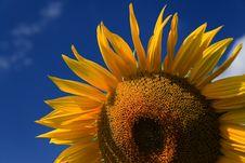 Free Sunflowers Stock Photos - 5983003