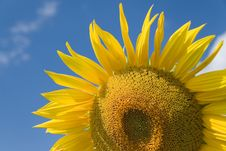 Free Sunflowers Stock Images - 5983004