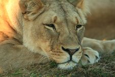 Free Depressed Lion Royalty Free Stock Images - 5983119