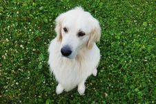 Free Beautiful Golden Retriever Sitting On The Grass Royalty Free Stock Images - 5983149