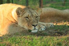 Free Safari Royalty Free Stock Image - 5983306