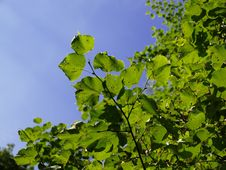 Free Green Leafs On Tree Royalty Free Stock Photo - 5984585