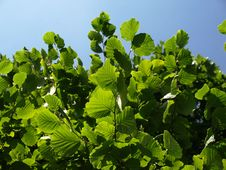 Free Green Leafs On Tree Royalty Free Stock Images - 5984629
