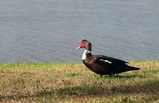 Muscovy Duck Stock Photography