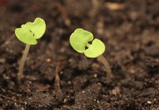 Free Two Sprouts Stock Photo - 5985030