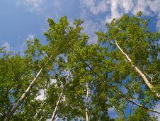 Free Green Birch Reaching Into Blue Sky Royalty Free Stock Photo - 5985295