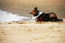 Free Shetland Sheepdog Royalty Free Stock Photo - 5985635