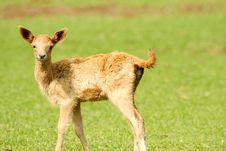 Free Baby  Deer Stock Image - 5986081