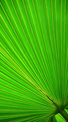 Free Palm Leaf Stock Image - 5986821