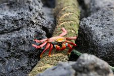 Free Sally Lightfoot Crab Stock Image - 5987031
