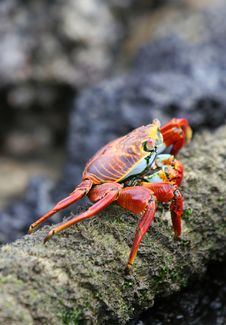 Free Sally Lightfoot Crab Royalty Free Stock Photography - 5987037