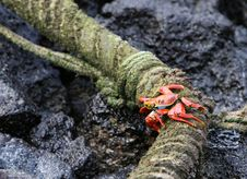 Free Sally Lightfoot Crab Royalty Free Stock Images - 5987039