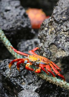 Free Sally Lightfoot Crab Stock Photo - 5987050