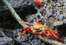 Free Sally Lightfoot Crab Eating Royalty Free Stock Images - 5987059