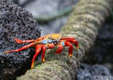 Free Sally Lightfoot Crab Eating Royalty Free Stock Photography - 5987087