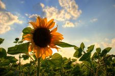 Free Sunflower Stock Photography - 5987692