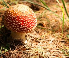 Free Fly Agaric (Amanita Muscaria) Mushroom. Stock Images - 5987864