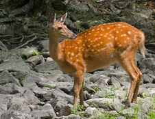 Sika Deer 4 Stock Photography