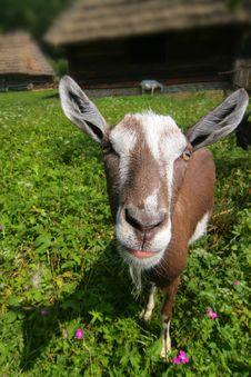 Free Goat Stock Image - 5988611