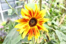 Free Small Sunflower In The Sun Stock Photography - 59836312