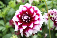 Free Dahlia White And Dark-red With Green Leaves Stock Photos - 59836813
