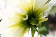 Free A Close Up Shot Of A Dahlia From The Back With Sun Shining Through Leaves. Stock Photos - 59837383