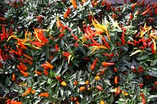 Fresh And Small Peppers Paprika Growing Stock Photo