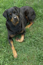 Free Rottweiler Stock Photography - 5993192