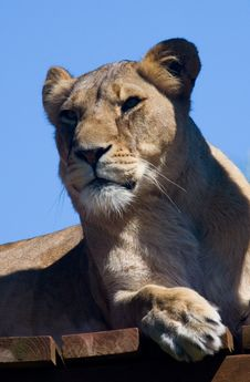 Free Lioness Royalty Free Stock Photography - 5990047
